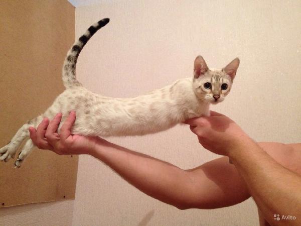 Сколько стоит доставить Кошек недорого из Тюмени в Пермь