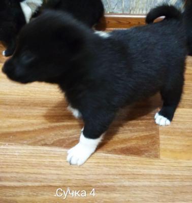 Доставка щенка дешево из Йошкар-Олы в Белебея
