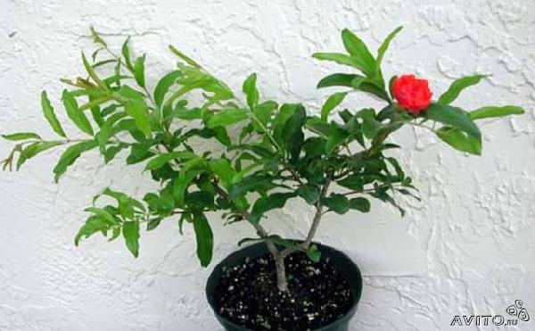 Отправить Кустики Гранатового дерева из Садоводческого товарищества N48 в Центральной усадьбы конезавода 119