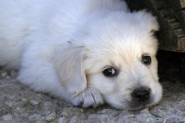 Услуги по перевозке щенка из Тольятти в Таганрог
