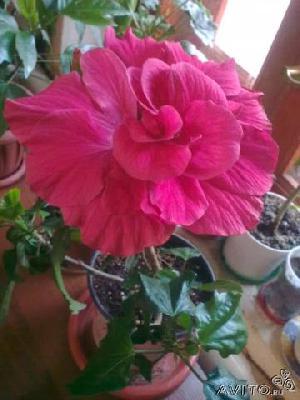 Дешевая доставка комнатных растения из Ростов-на-Дону в Лесной