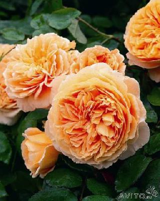 Недорогая перевозка саженцы роз по Сергачу