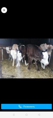 Транспортировка быка недорого из Россия, Рыбинска в Киргизия, Баткена