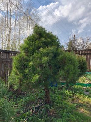 Отправить Деревья живые высотой 1,5-1,7м из Лечищева в Тулу