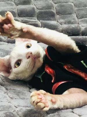 Доставка котенка из Россия, Челябинска в Украина, Киев