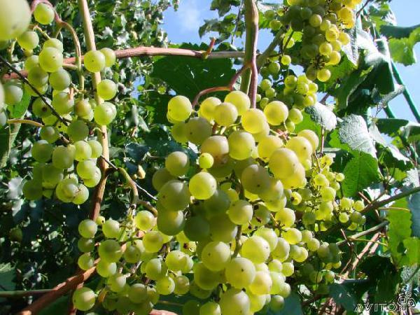 Перевозка саженцы винограда сорт
