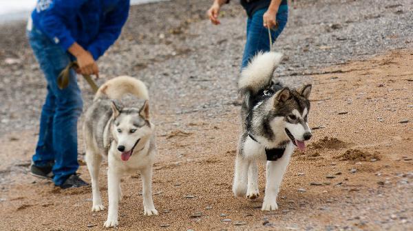 Сколько стоит доставка 3 собак - маламута, хаски, Московской Сторожевой недорого из Симферополя в Краснодар