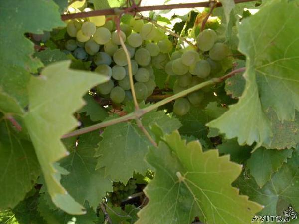 Сколько стоит перевезти саженцы винограда из Ростова-на-Дону в Куйтуна