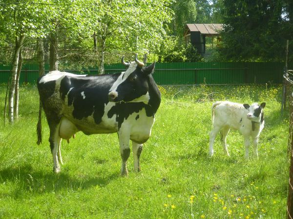 Прицеп для перевозки крупного рогатого скота из Санкт-Петербург в Красногорск