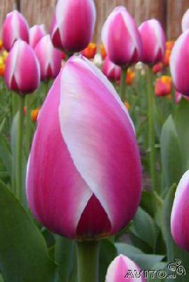 Доставить Луковицы тюльпанов из Армавира в Зею