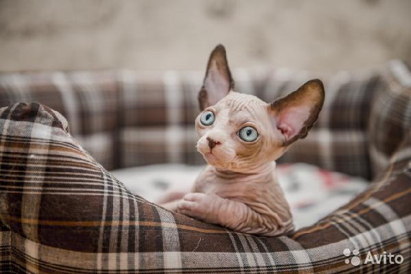 Перевезти котенка : сфинкса недорого из Вологда в Санкт-Петербург