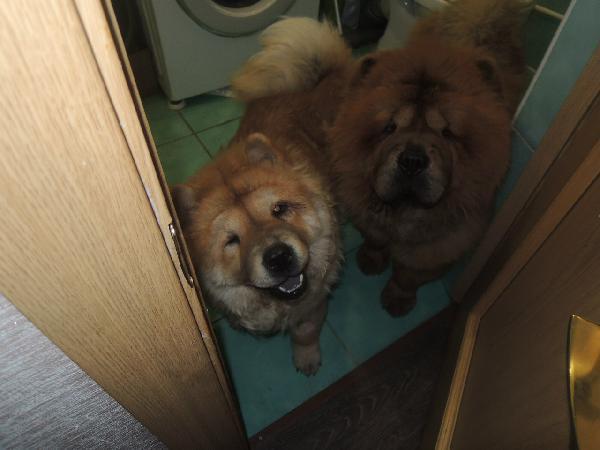 Доставка чау-чау, 2 собаки. недорого из Улан-Удэ в Тольятти