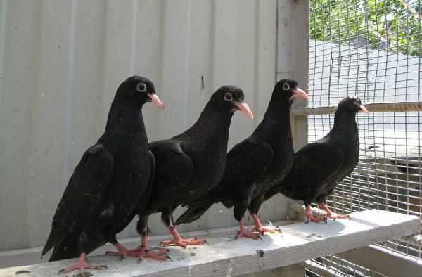 Сколько стоит перевезти птиц голубей (4 шт) недорого по Москве