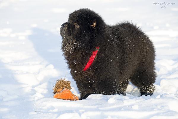 Перевезти собак - 1 щенка чау-чау, возраст 3, 5 месяца дешево из Пенза в Москва