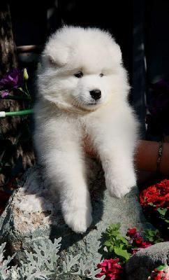 Доставить собак недорого из Самара в Сочи