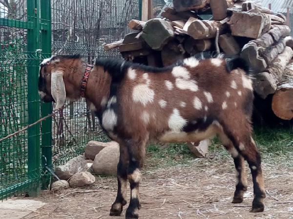 Транспортировать козлика 8 мес недорого из Смоленск в с.Генеральское