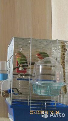 Сколько стоит перевозка клетки с попугаями, небольшая. недорого из Санкт-Петербург в Псков