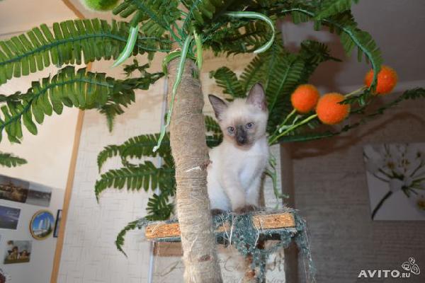 Перевозка котенка одного 4 месяца тайской пород из Краснодар в Крым г.Феодосия