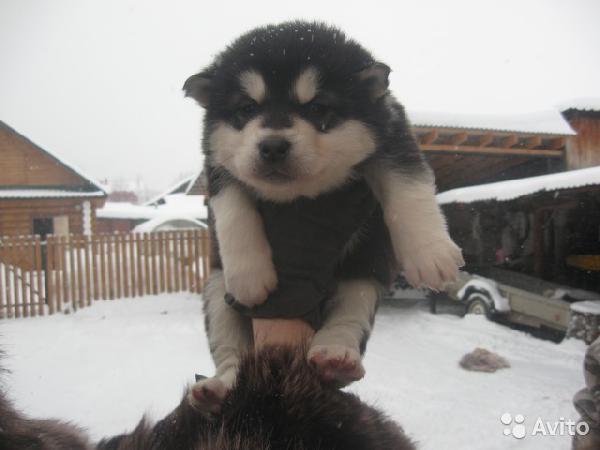 Транспортировать собаку , щенка маламута из Екатеринбург в Тюмень