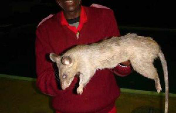 Доставка крысы недорого из Магнитогорск в Верхнеуральск