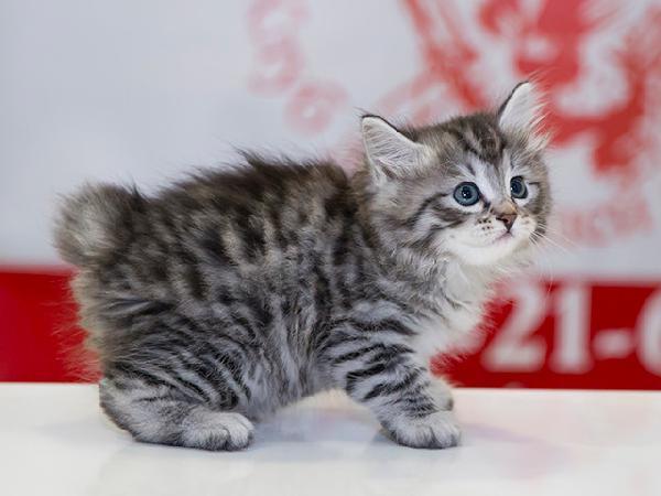 Отвезти котенка 3 месяца породу курильский бобтейл недорого из Омск в Краснодар