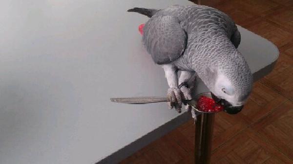 Перевезти попугая 1 с клеткой, птиц ооооооооооооооооооооооо недорого из Саратов в Севастополь