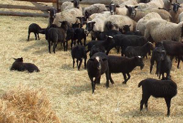 Аренда скотовоза для племянное овец из Россия, Калуга в Киргизия, Ош