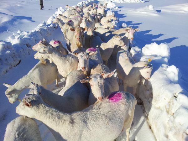 Сколько стоит перевозка коз 41 головы недорого из Сернурский район в Хохольский район