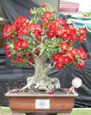Доставить Адениумы красивейшие растения из Воронежа в 1-го Отделения Кызыльского свх