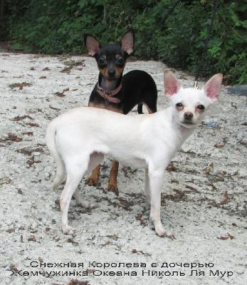 Доставить щенка той-терьера недорого из Владивосток в Магадан