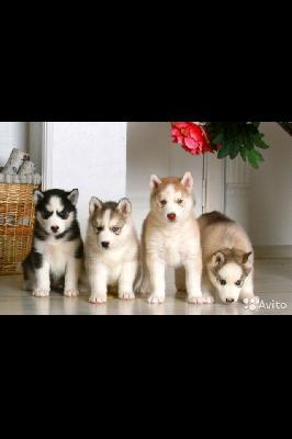 Доставка собак из Абакан в Челябинск