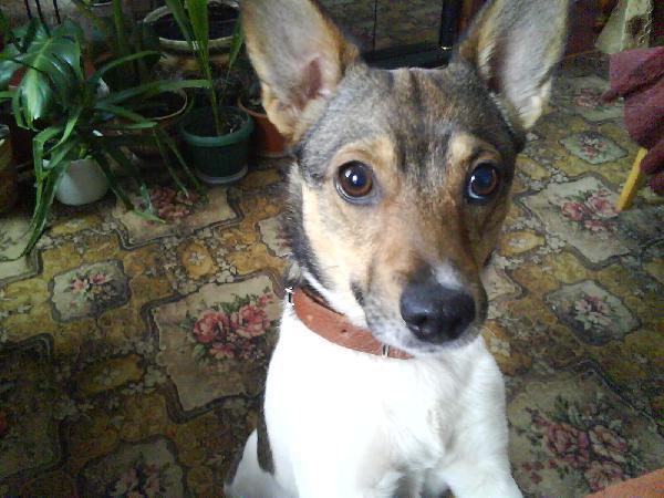 Доставить собак дешево из Украина, Лиман в Россия, Санкт-Петербург