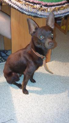 Сколько стоит перевезти собаку  той-терьера недорого из Иркутск в Хабаровск