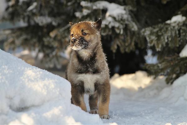 Отвезти собак дешево из Красноярск в Клин