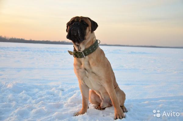 Отвезти собак недорого из Санкт-Петербург в Смоленск