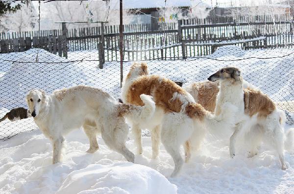 Услуга по транспортировке собак из Белогорск в Брянск