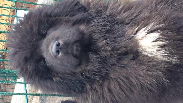Перевезти щенка недорого из Пермь в Нижний Новгород