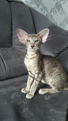 Транспортировать котенка ориентальной породы из Екатеринбург в Краснодар