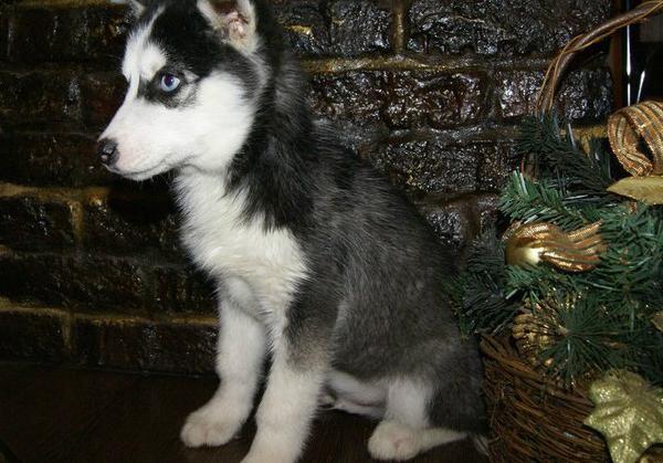 Отвезти собак недорого из Украина, Черкассы в Россия, Молочный