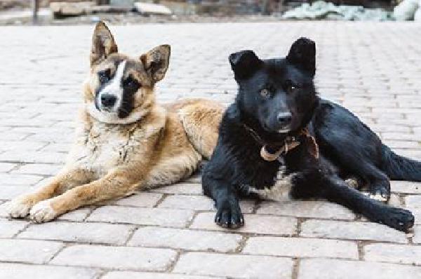 Перевезти 2х собак из Москвы на Украину из Россия, деревня Дудкино в Украина, Томашполь