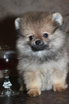 Транспортировка щенка шпица дешево из Екатеринбург в Лесной