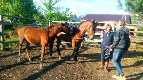 Доставка лошадей из Белоруссия, Гомель в Россия, Смоленская область (Сафоновский р-н)