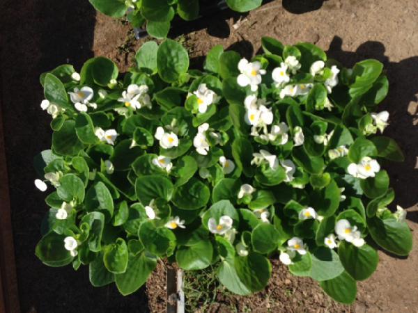 Заказ грузотакси для перевозки цветочной рассады 577 кассет попутно из с. Верхнее Мячково в Кострома