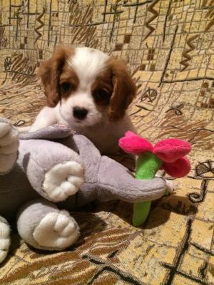 Транспортировать собаку , щенка спаниеля недорого из Саратов в Белгород