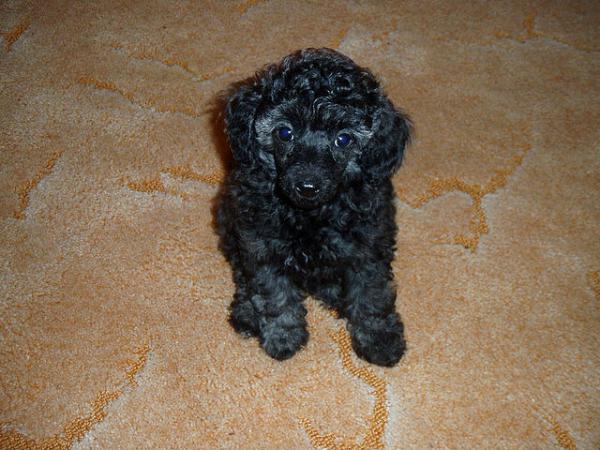 Сколько стоит транспортировка щенка миниатюрного пуделей недорого из Новосибирск в Абакан