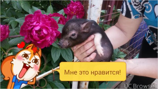 Перевозка микро пиг из Ростов-на-Дону в Самара