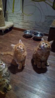 Доставить котенка дешево из Екатеринбург в посёлок городского типа Селятино