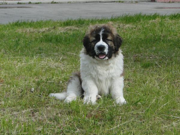 Перевезти собак 1 щенка дешево из Россия, Челябинск в Белоруссия, Могилев
