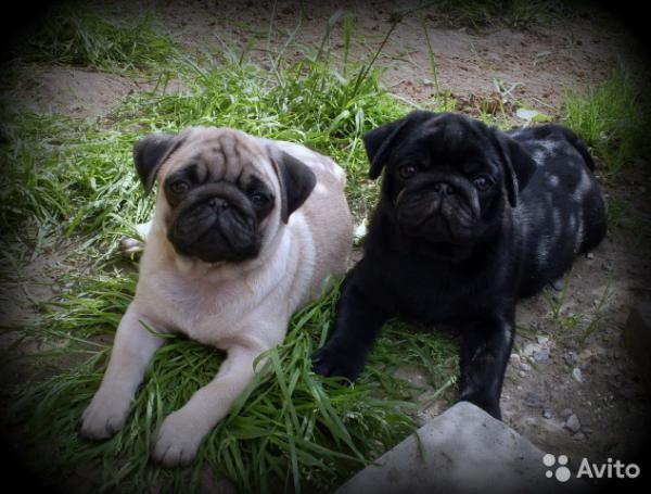 Транспортировать собаку  из Ростов-на-Дону в толья