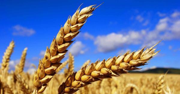 Заказать газель перевезти зерно и семена (насыпью) из Саратовская область в Беслан